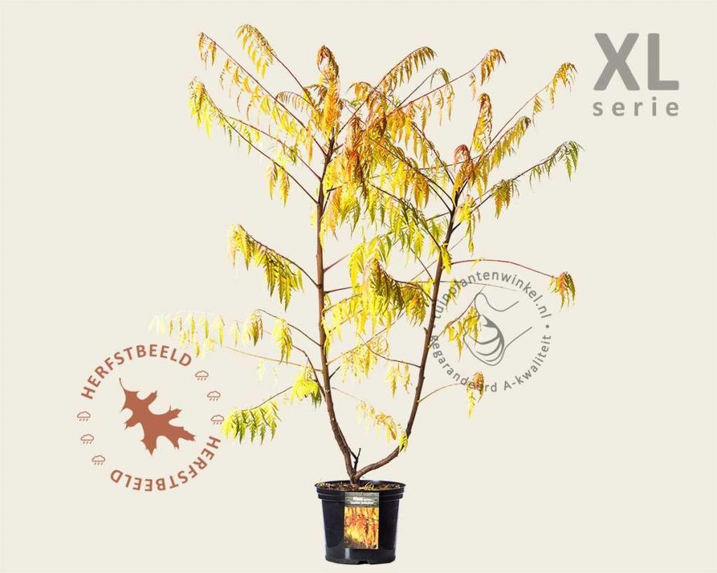 Rhus typhina 'Golden Selection' - XL