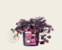 Loropetalum chinense 'Ruby Runner'