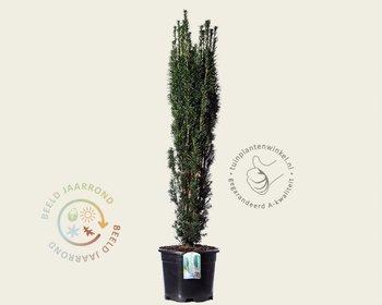 Taxus baccata 'Fastigiata' 120/140 - in pot