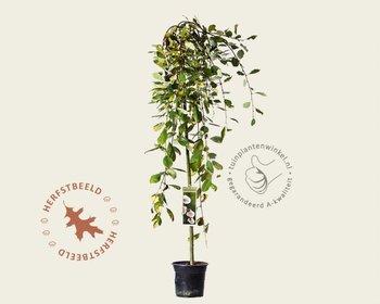 Salix caprea 'Kilmarnock' - 120 cm stam