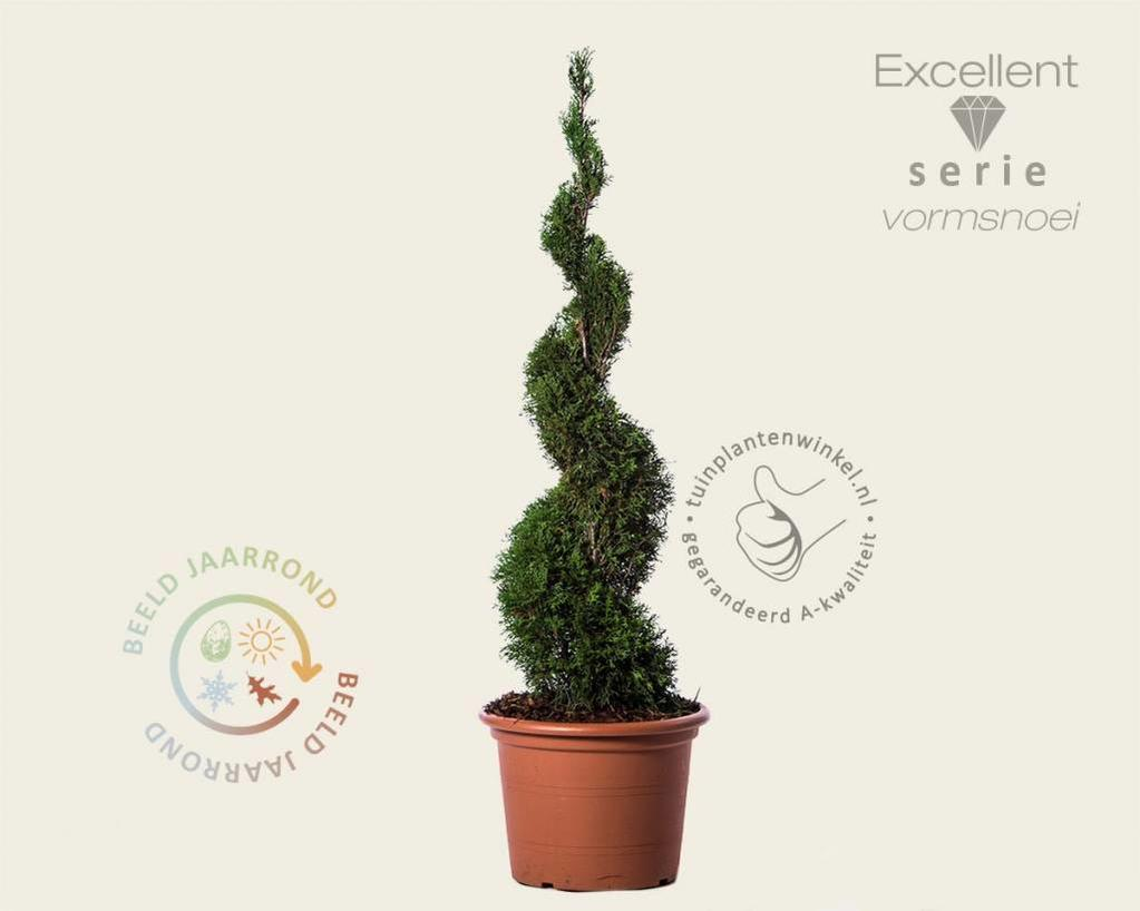 Thuja occidentalis 'Smaragd' - spiraal 100/120 cm