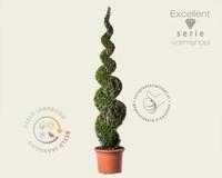 Thuja occidentalis 'Smaragd' - spiraal 200/220 cm