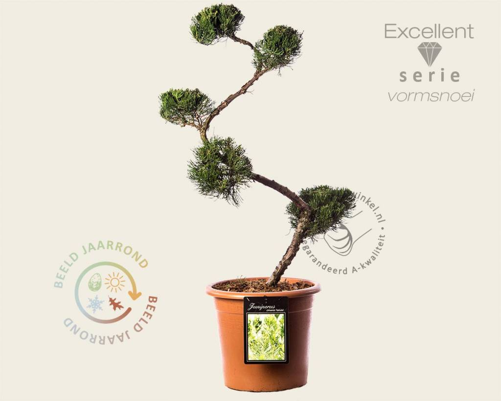 Juniperus Chinensis Kaizuka Bonsai Excellent Chinese Jeneverbes Vertrouwd Online Kopen