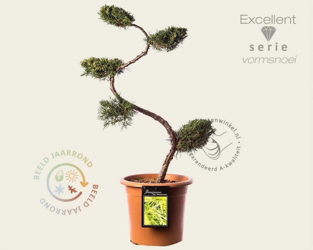 Juniperus media 'Pfitzeriana Aurea' - bonsai - Excellent