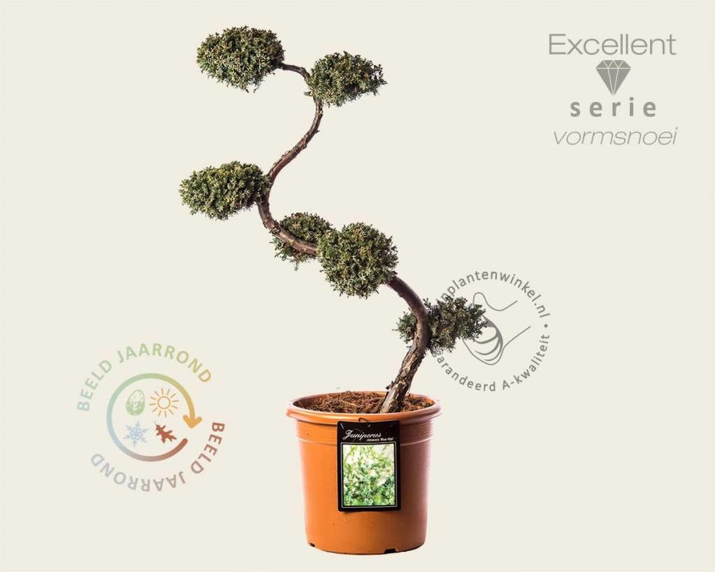 Juniperus chinensis 'Blue Alps' - bonsai - Excellent