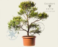 Pinus virginiana 'Water Gold' - bonsai - Excellent