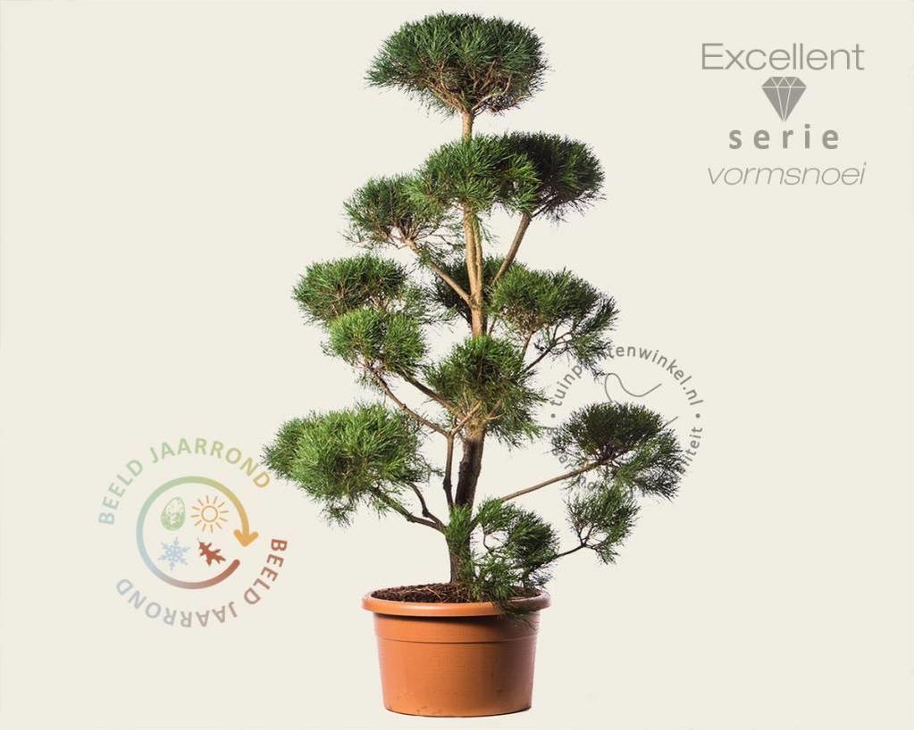Pinus sylvestris - bonsai - Excellent