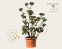 Pinus sylvestris 'Watereri' - bonsai - Excellent
