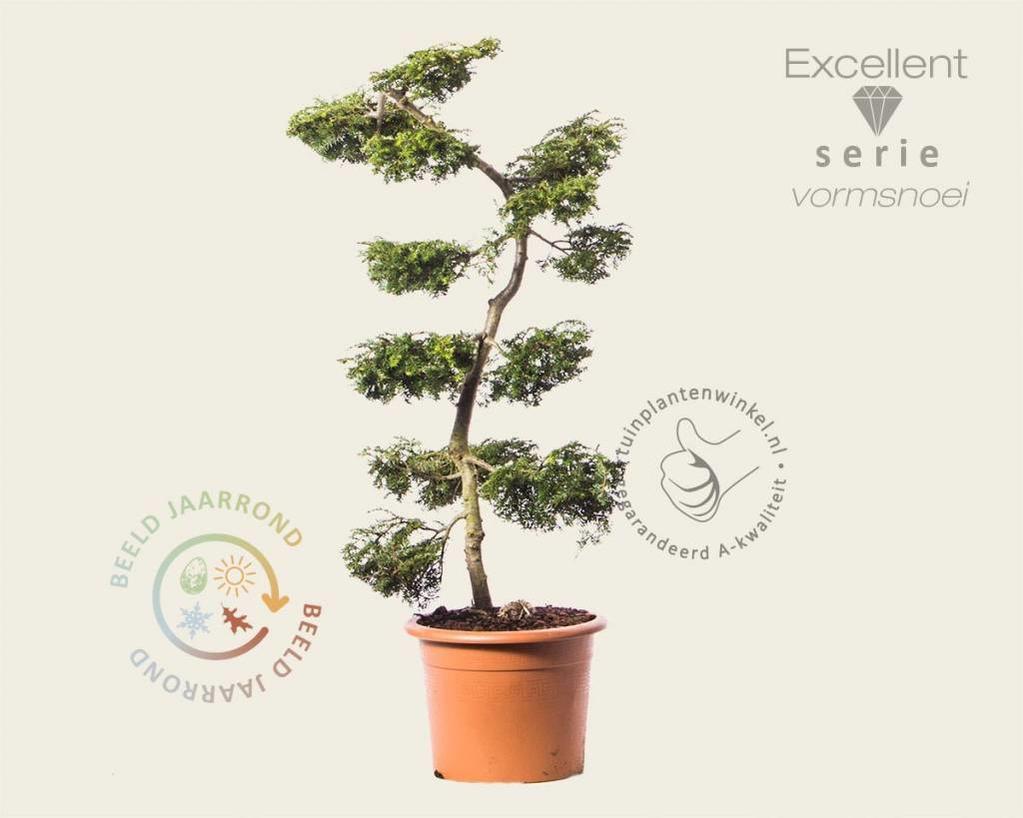 Tsuga canadensis 'Pendula' - bonsai - Excellent