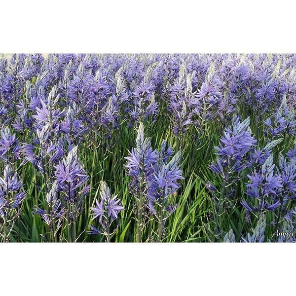 Sweet Living Canvas Hyacint Schilderij