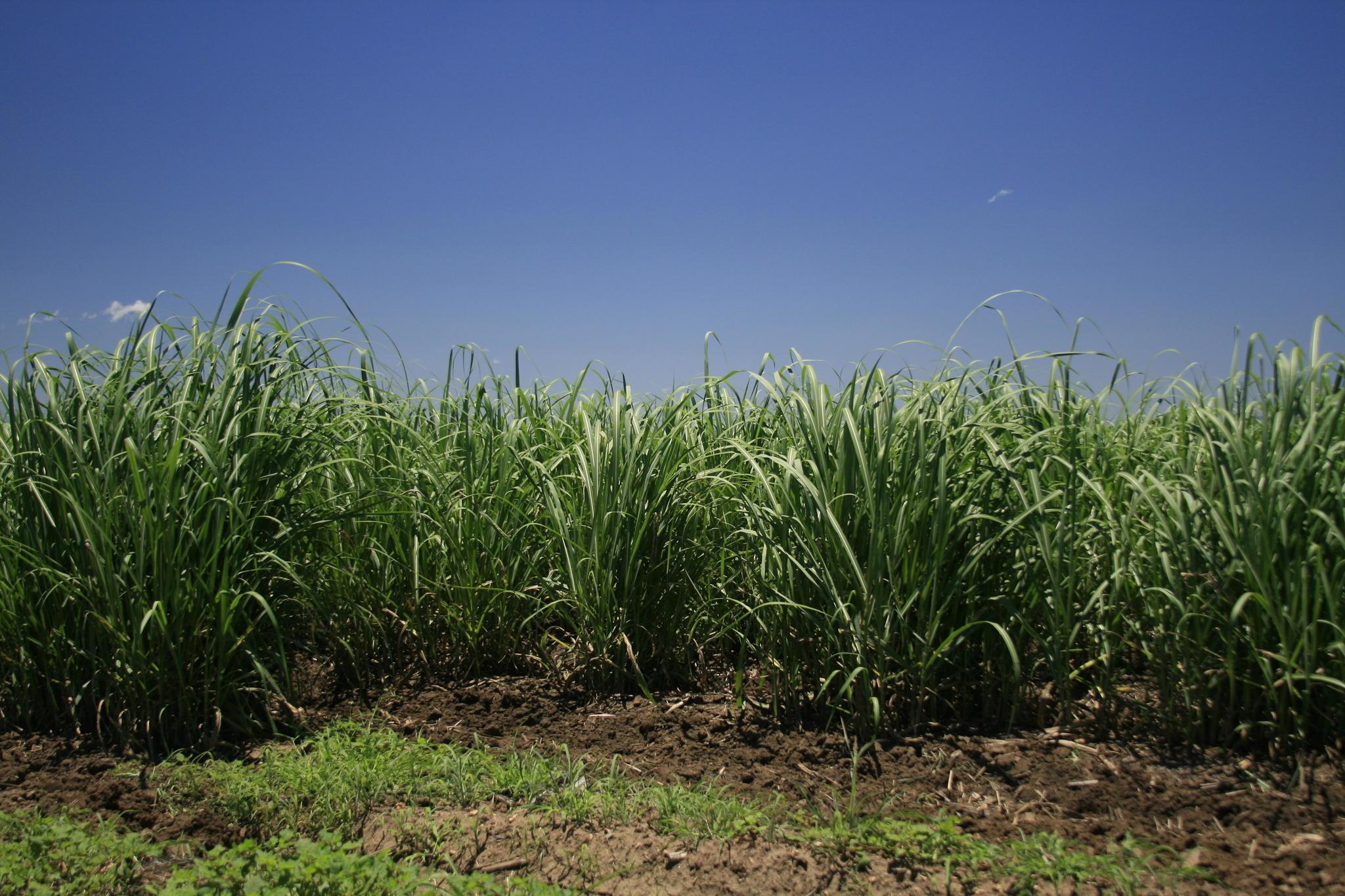 Suikerriet sap