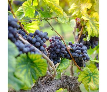 Syrah - Shiraz wijn