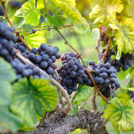 Shiraz wijn
