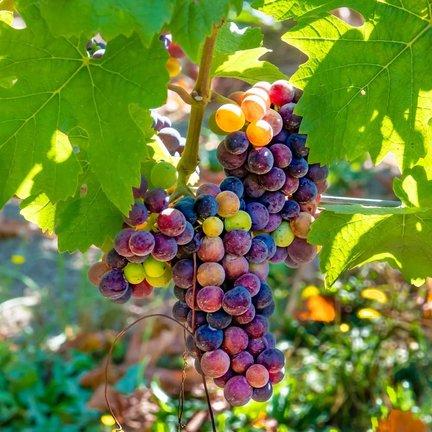 Pinot Noir Wijn