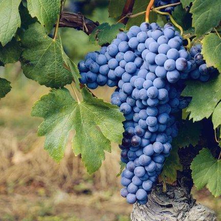 Nebbiolo wijn
