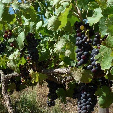 Pinotage wijn
