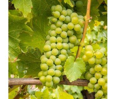 Sauvignon Blanc wijn