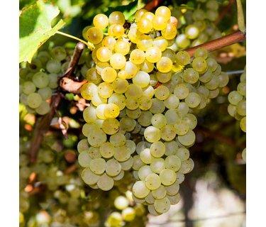 Pinot Gris wijn - Pinot Grigio