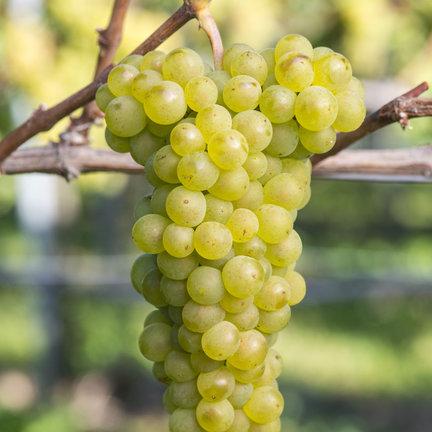 Pinot Blanc Wijn