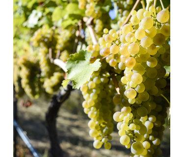 Viognier wijn