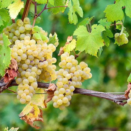 Arneis wijn