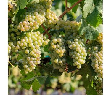 Chenin Blanc wijn