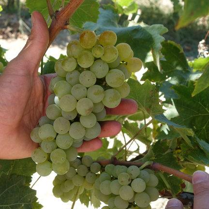 Verdicchio wijn