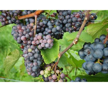 Zweigelt wijn