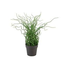 EUROPALMS EUROPALMS Corkscrew grass in brown pot, PE, 38cm