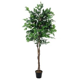 EUROPALMS EUROPALMS Ficus tree multi-trunk, 210cm