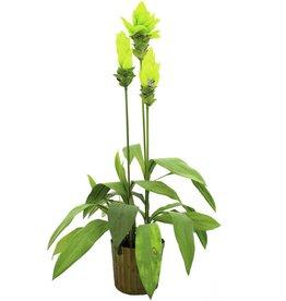EUROPALMS EUROPALMS Gingerlily, 95cm