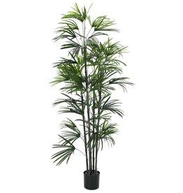 EUROPALMS EUROPALMS Fan Palm seedling, 150cm