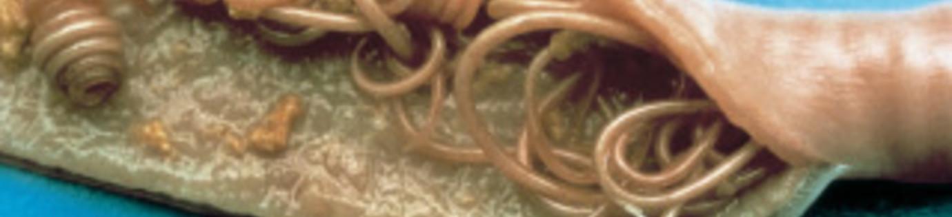 Lesen Sie alles über die Bekämpfung von Würmern bei Hunden und Katzen.