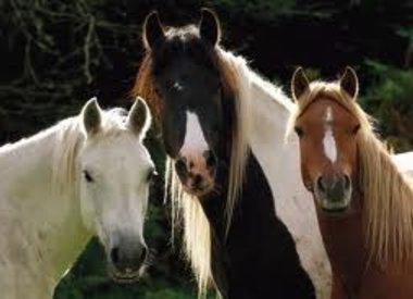 Paarden urine