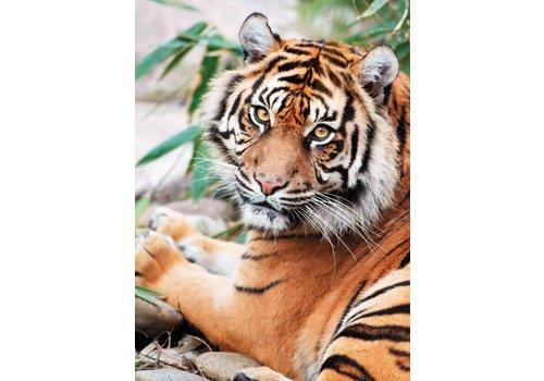 Tigre Sumatra - 1000 pièces