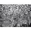 Ravensburger Zebra Challenge - puzzle of 500 pieces