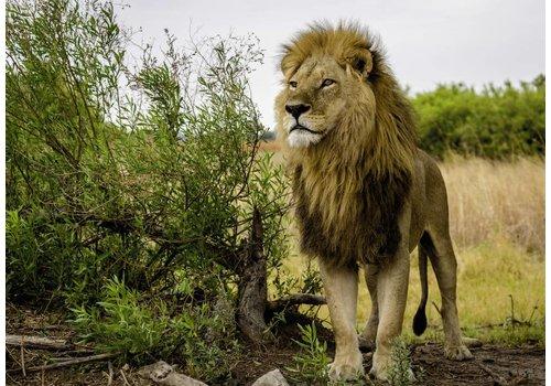Lion fier  - 1000 pièces