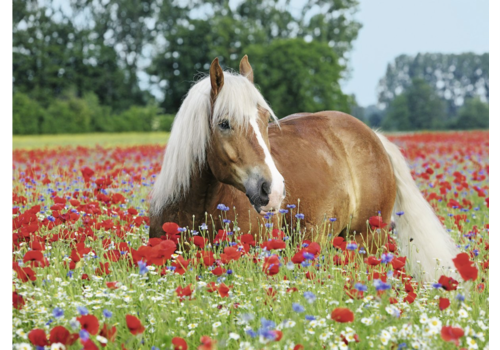 Le cheval dans le champ de pavot - 500 pièces