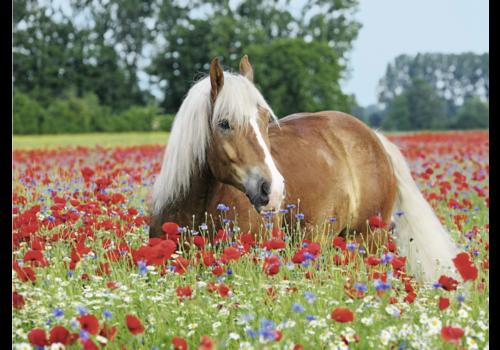Paard tussen de klaprozen - 500 stukjes