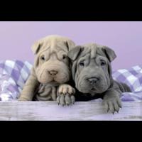 thumb-Bonjour les chiens - puzzle de 100 pièces-2