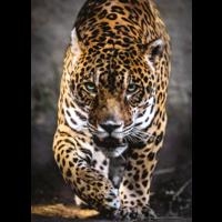 thumb-Jaguar - puzzel van 1000 stukjes-1