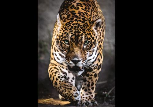 Clementoni Jaguar - 1000 pieces