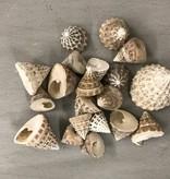 Schelpen Echinellopsos
