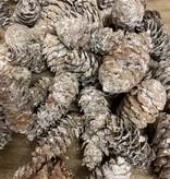 Sitka Whitewash 100 gram
