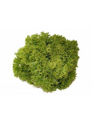 Gärtnerei Schönherr (Bopfingen) Salat Lollo Bionda
