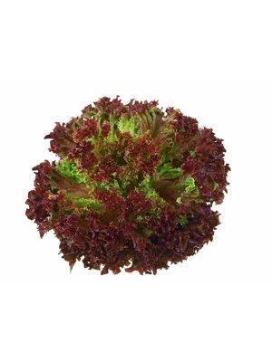 Gärtnerei Schönherr (Bopfingen) Salat Lollo Rosso