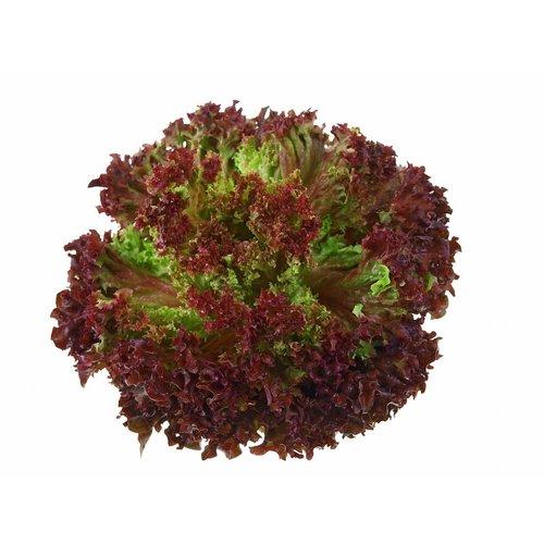 Fruchthof Dambacher (Aalen) Salat Lollo Rosso