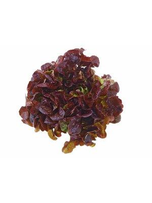 Fruchthof Dambacher (Aalen) Eichblattsalat rot