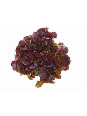 Gärtnerei Schönherr (Bopfingen) Eichblattsalat rot