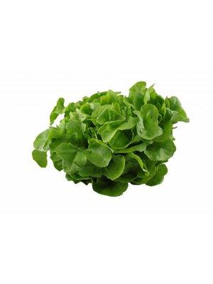 Gärtnerei Schönherr (Bopfingen) Eichblattsalat grün